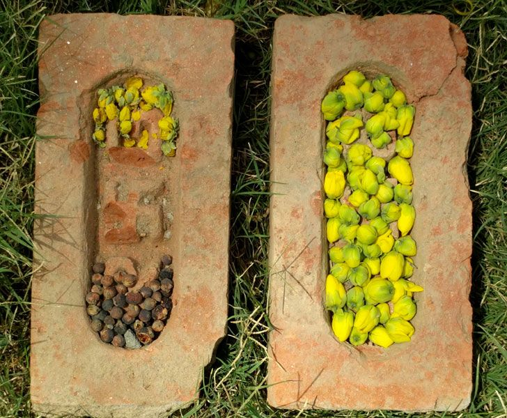"""laburn buds seeds AnkonMitra MyGotoTherapist indiaartndesign"""