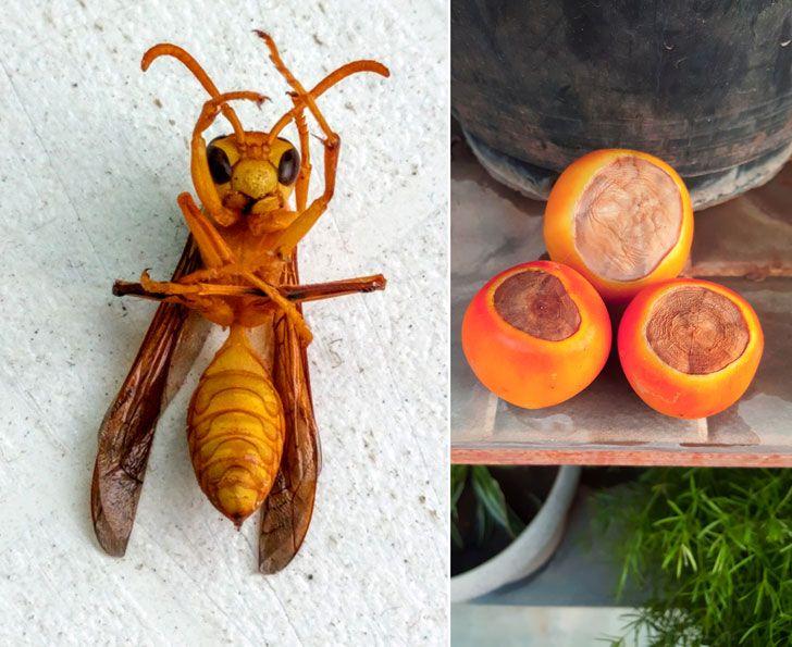 """""""wasp rotten tomatoes AnkonMitra MyGotoTherapist indiaartndesign"""""""